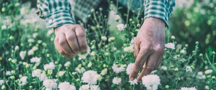 White Chrysanthemums at Omlong ทุ่งเก๊กฮวย บ้านอมลอง