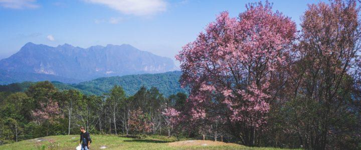 ดอกนางพญาเสือโคร่ง ซากุระเมืองไทยที่สันป่าเกี๊ยะ